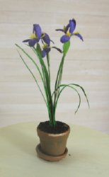Iris in Clay Pot, Purple with Yellow