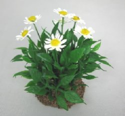 Daisies in Dirt